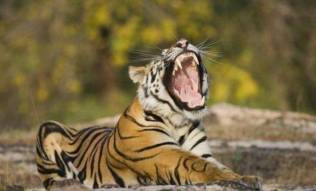 俗话说虎毒不食子,可为何有的动物会杀死自己的幼崽?看完懂了